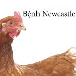 Các bệnh thường gặp ở gà