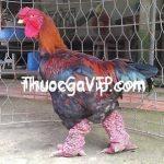 Cách chọn gà Đông Tảo thuần chủng