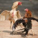 Cách luyện thể lực cho gà chọi