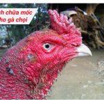 Cách chữa mốc cho gà chọi